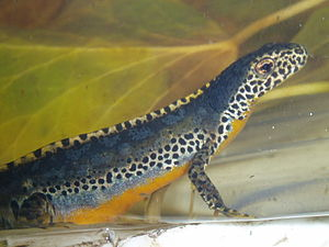 Alpine newt -  Male alpine newt in water phase