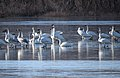 Trumpeter and Tundra Swans (23949623959).jpg