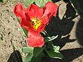 Tulipa gesneriana 5.jpg