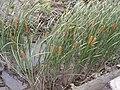 Typha domingensis Saga Kashima wide.JPG