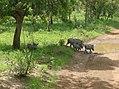 UNESCO Niokolo-Koba National Park Senegal (3687384130).jpg