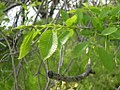 Ulmus parvifolia leaves-5-01-05.jpg