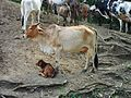 Una vaca con su cria.JPG