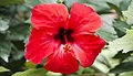 Unidentified Hibiscus (4872293662).jpg