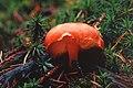 Unidentified fungus (29569534083).jpg