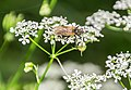 Unidentified insect on Anthriscus sylvestris in Causse Comtal (2).jpg