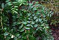 Unknown ericaceous shrub (16095200444).jpg