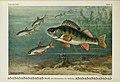 Unsere Süßwasserfische (Tafel 6) (6103141628).jpg