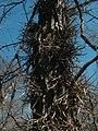 Unusual burrs on trees, site of Lexington plantation.jpg