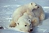 Ursus maritimus Polar bear with cub 2.jpg