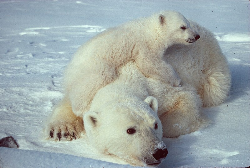 see: Polar Bears in the wild