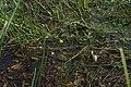 Utricularia vulgaris inflorescens (06).jpg