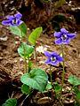 VIOLA SYLVESTRIS - LLANERA - IB-268 (Viola silvestre).JPG