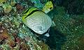 Vagabond Butterflyfish (Chaetodon vagabundus) (8482991356).jpg