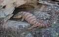 Varanus griseus caspius.jpg