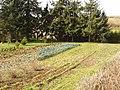 Vegetable garden in Luton, Devon - geograph.org.uk - 120725.jpg