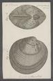 Venus puerpera - - Print - Iconographia Zoologica - Special Collections University of Amsterdam - UBAINV0274 077 12 0004.tif