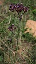 Verbena bonariensis 3.jpg