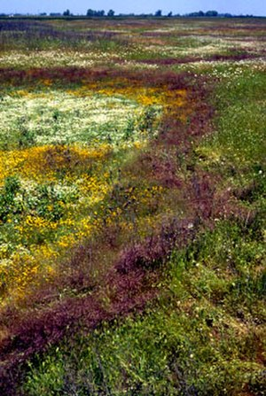 Vernal pool - Vernal pool flowers, with different species occurring in zones related to soil moisture and temperature gradients formed as the pool dries out. Sacramento National Wildlife Refuge, Calif.
