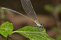Vestalis apicalis female of Kadavoor.jpg
