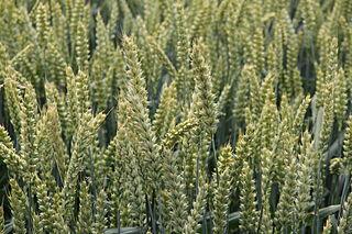 Pšenica (Triticum aestivum)