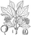 Viburnum edule BB-1913.png