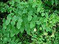 Vicia pisiformis3 W.jpg