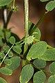 Vicia sylvatica 09.jpg