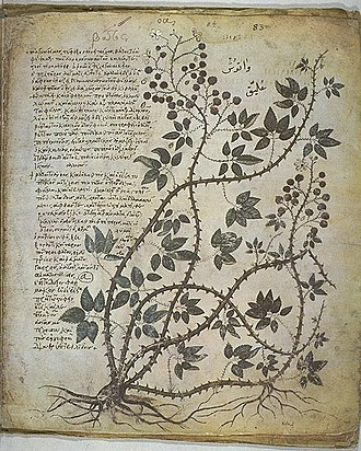 Botanical illustration - Blackberry. Vienna Dioscurides, early sixth century