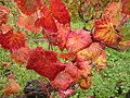 Vigne d'automne.JPG