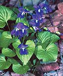 Viola sororia.jpg