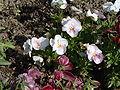 Viola tricolor 19.jpg