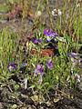 Viola tricolor Oulu, Finland 17.06.2013.jpg