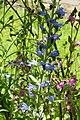 Viper's-bugloss. Echium vulgare (35015002564).jpg