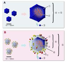 Esempio di virus a geometria icosaedrica. A virus senza membrana B virus con membrana 1 Capside 2 Acido Nucleico 3 Capsomero 4 Nucleocapside 5 Virione 6 Rivestimento proteico 7 Rivestimento glicoproteico