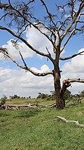 Visual porojo Dying tree.jpg
