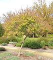 Vitex agnus-castus - McConnell Arboretum & Botanical Gardens - DSC02952.JPG