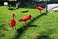 Vogelpark Walsrode - Freiflughalle - Eudocimus ruber 07 ies.jpg