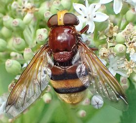 Volucella zonaria female.jpg