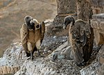 Vultures in the nest, Orchha, MP, India edit.jpg