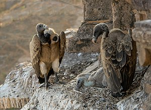 Indian vulture - At nest (Orchha, India)