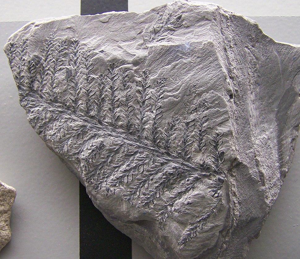 Walchia piniformis