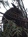 Waldohreule in Kalkar PM18-02.jpg