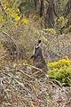 Wallabia bicolor (Swamp Wallaby), Grampians National Park, Victoria Australia (4892761585).jpg