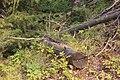 Wapta Falls Trail IMG 4983.JPG