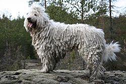 Grey Shaggy Dog Breed