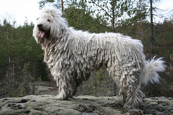 Matted Dog Breed