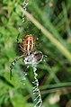 Wasp spider, underside (14525811439).jpg