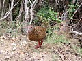 Weka on Queen Charlotte Track 2.jpg