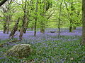 Wenallt bluebells - geograph.org.uk - 1288899.jpg